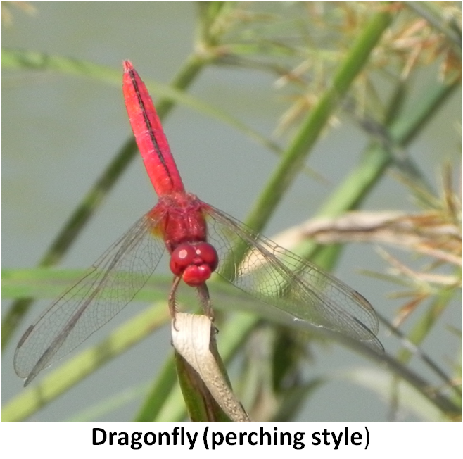 ScarletSkimmerDragonflyCropped
