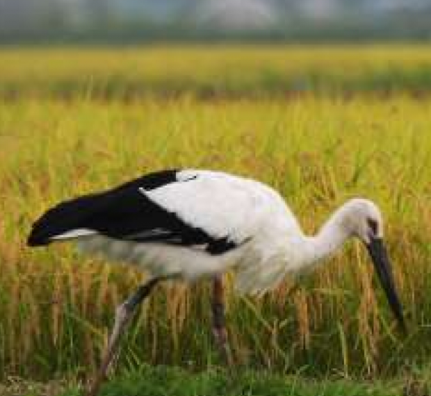 Rice for bird conservation