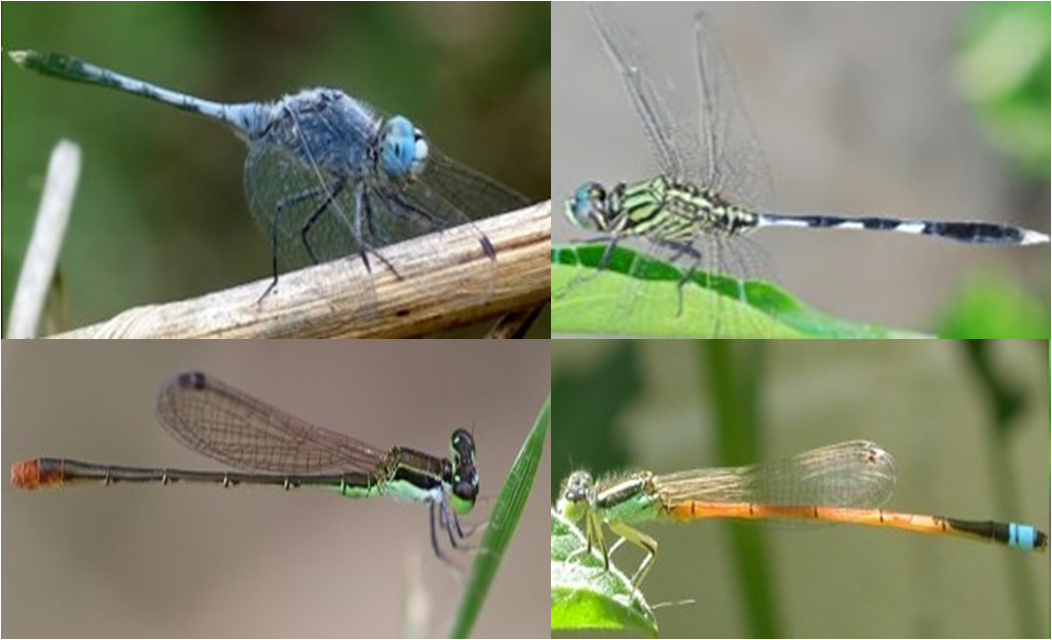 The Winged Guardians Of Rice Fields Stories Of Dragonflies And Damselflies Ceiba Trust