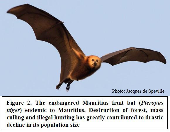 The endangered Mauritius fruit bat (Pteropus niger) endemic to Mauritius