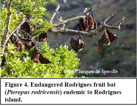 Endangered Rodrigues fruit bat (Pteropus rodricensis)