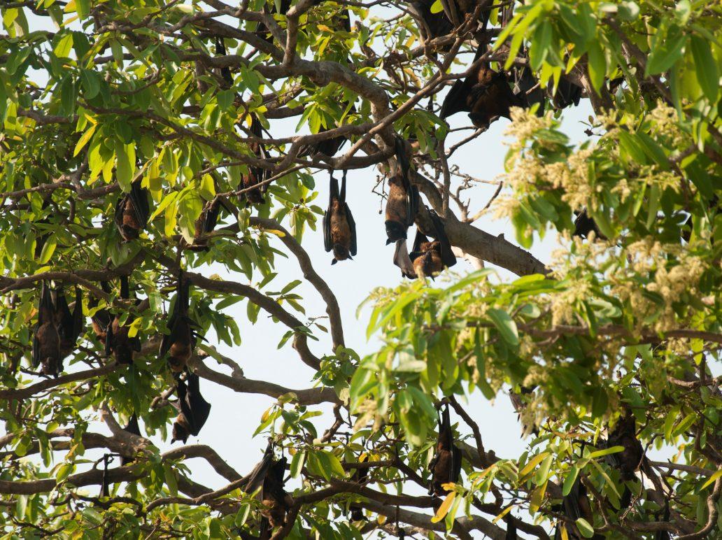 bat, bioindicator, chiroptera, keystone species