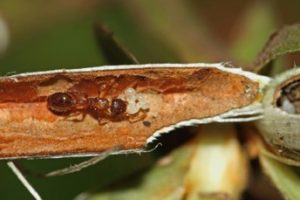 Symbiotic ant-plants: story of resident ants and how they use probable 'mutualistic' fungi