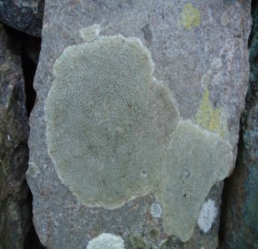 The unrealized potential of lichens in nature