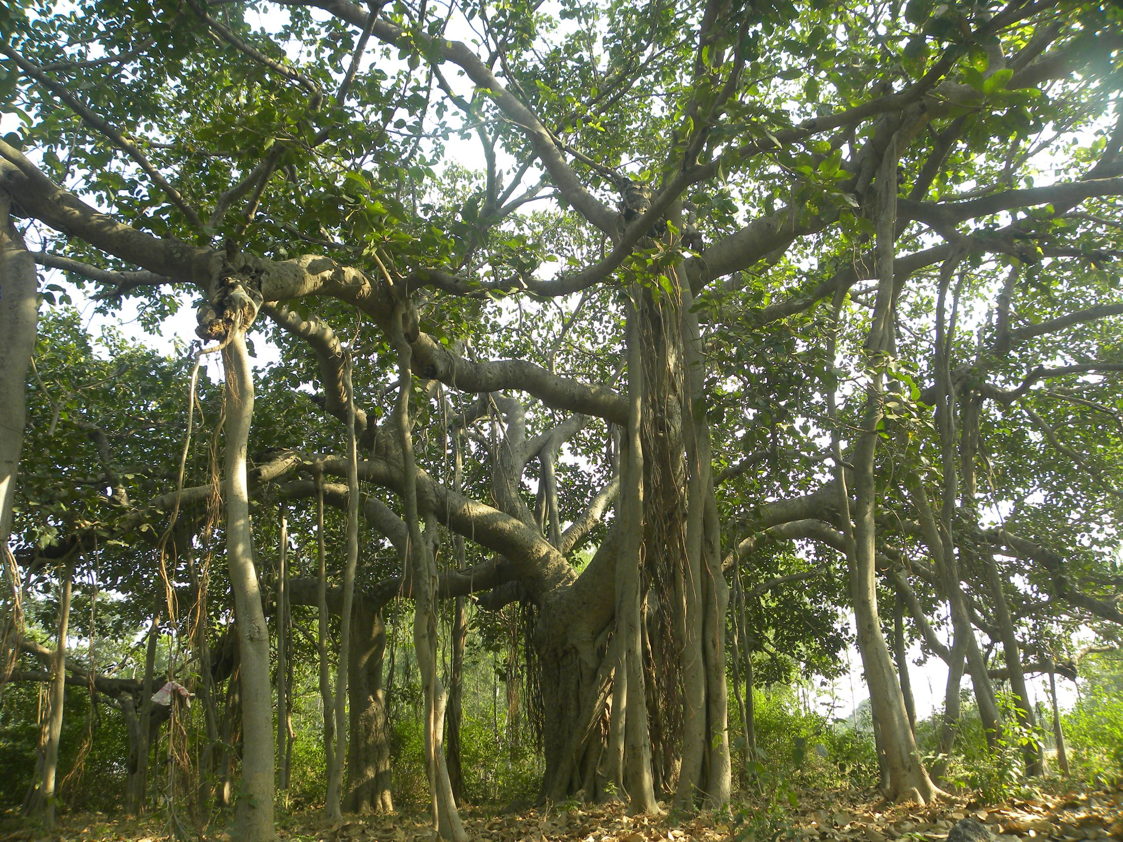 Ancient trees: conserving living heritage for posterity