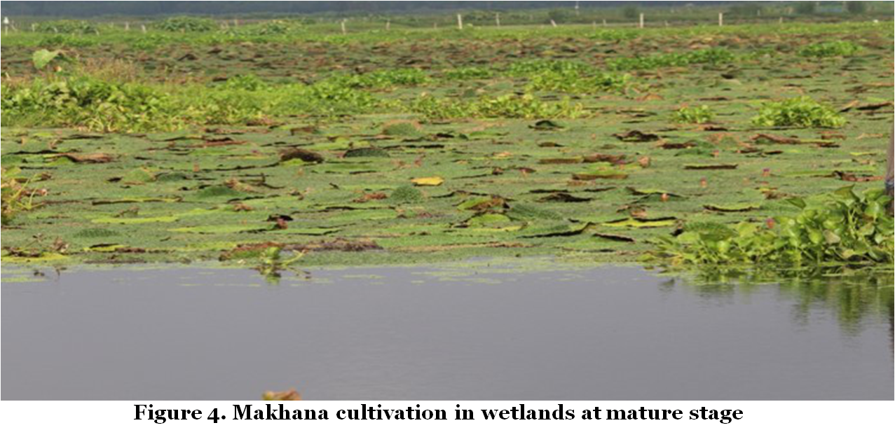 Makhana cultivation in wetlands at mature stage
