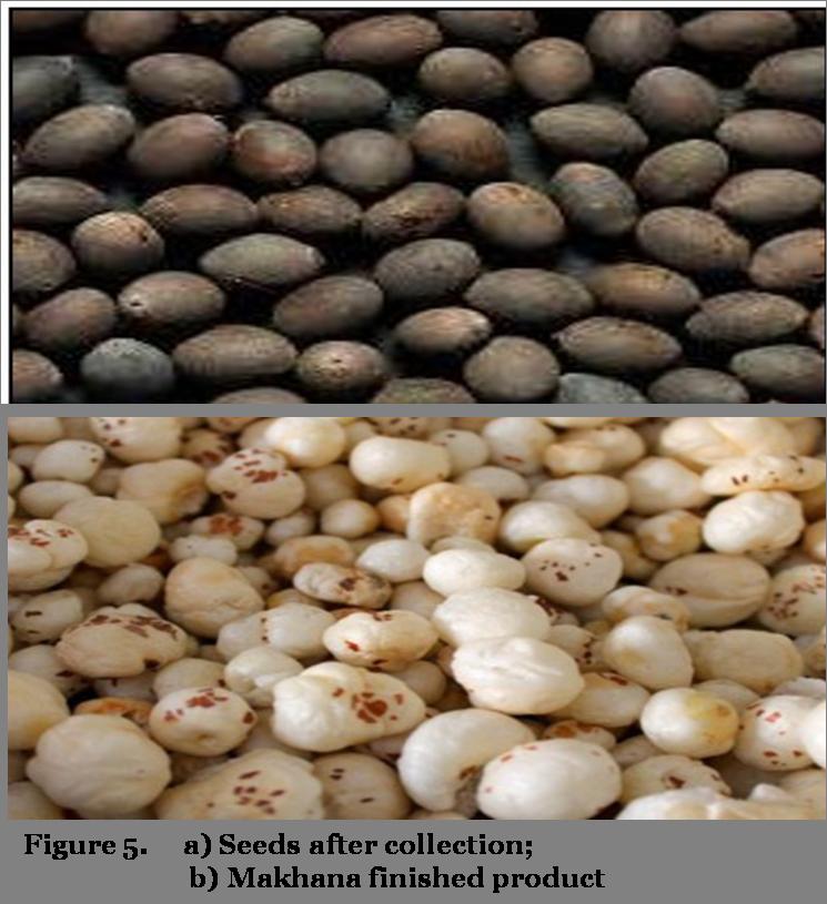 Makhana seeds & finished product