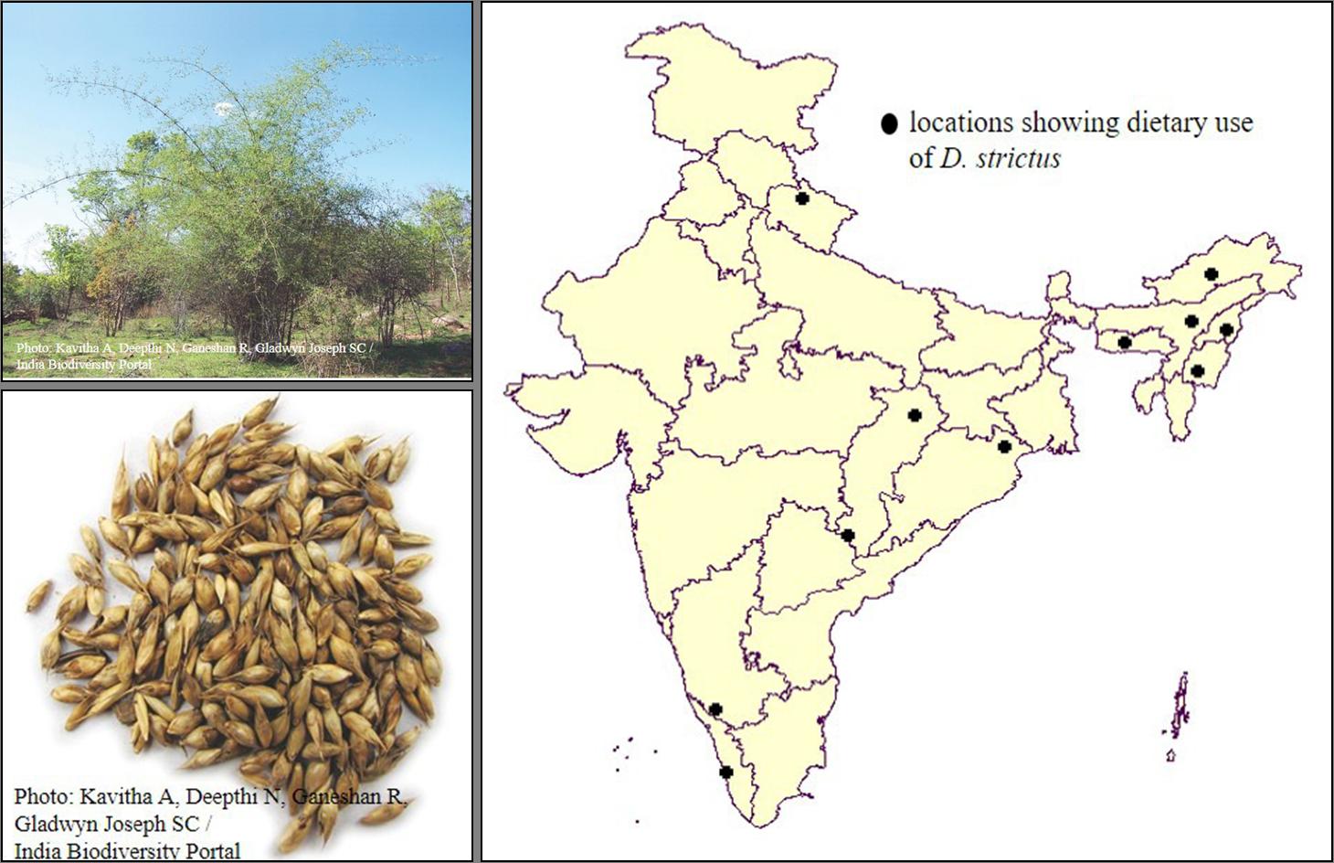 Dendrocalamus strictus (bhans)