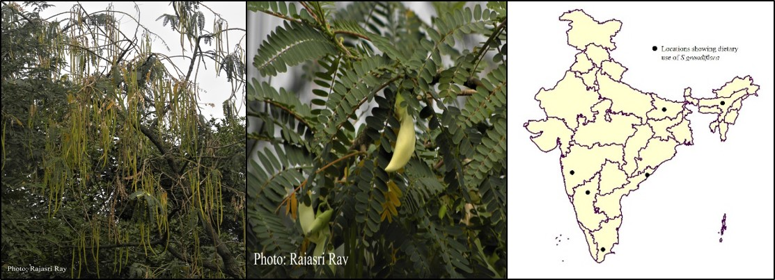 Sesbania grandiflora_Agathi_Bokphul