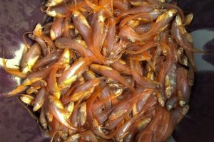 Small edible fishes of eastern India: consequences of their declining diversity