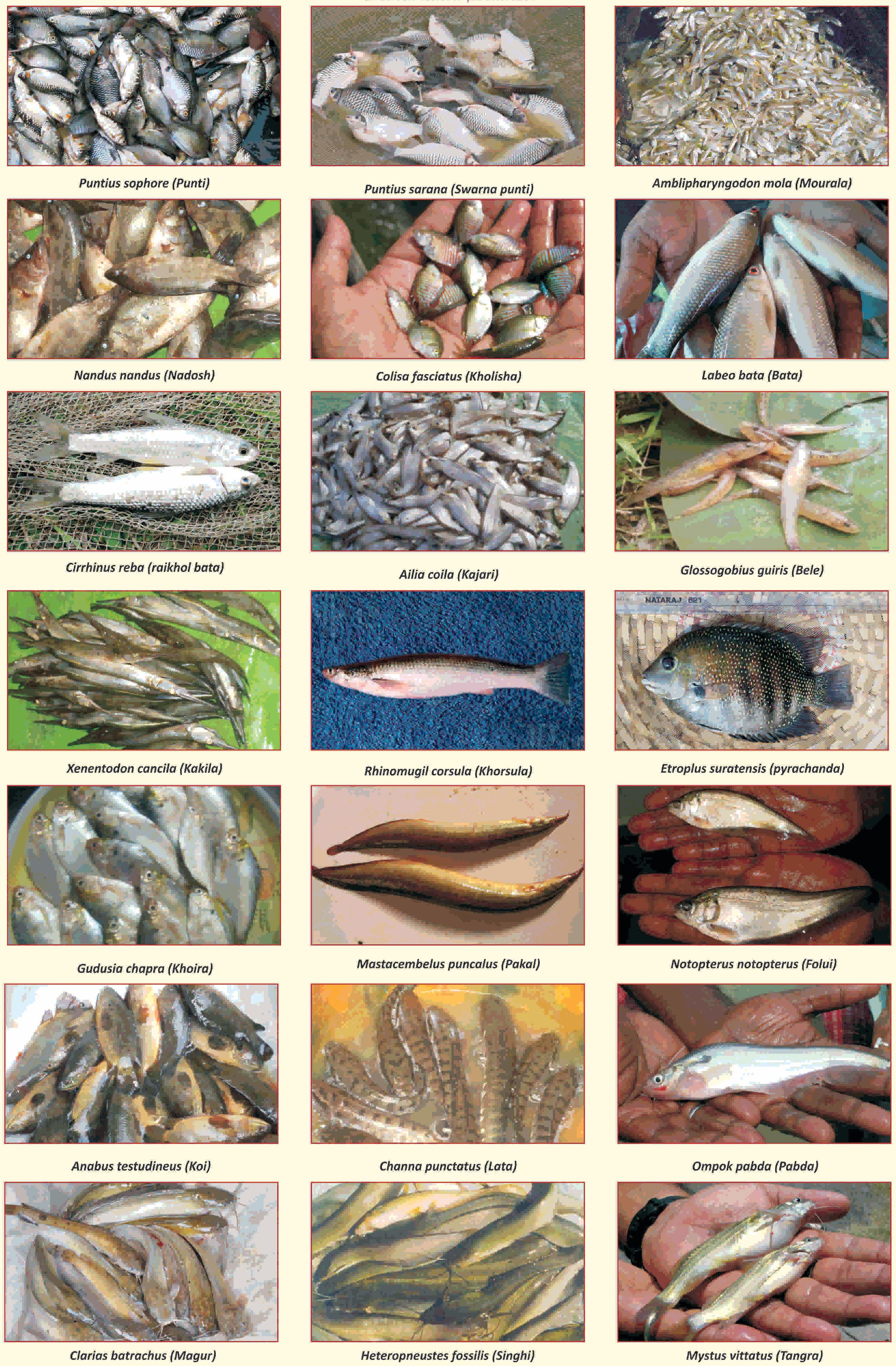 Small fish diversity in rural Bengal