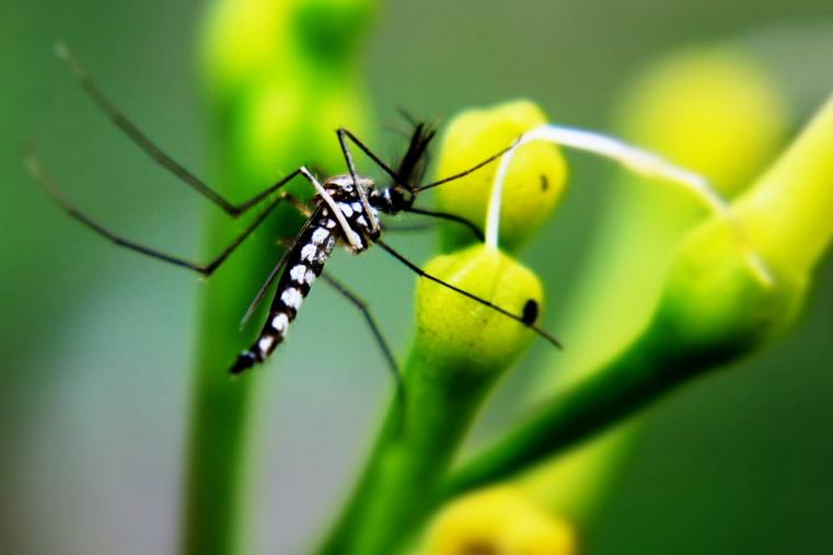 Mosquito pollinator