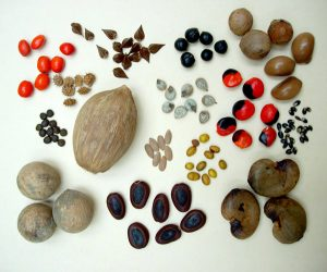 Flowering plants' seeds are diverse in color, size and shape_CEiBa_Vol 3_Issue 1