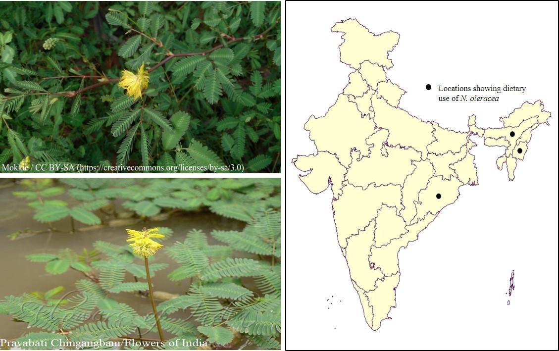 Neptunia oleracea Lour_CEiBa_Vol3_Issue2
